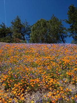 Wildflowers on Figueroa Mountain